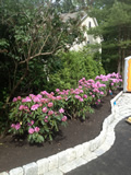 Cobblestone Soldier Course with Rhododendron Plantings Lexington MA